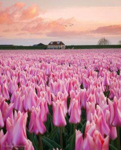 دانلود پروژه عکاسی مزرعه گل هلند (1)